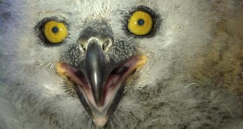 baby-owl-phoenix
