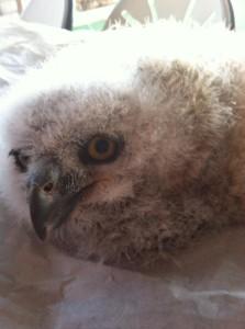 phx sux baby owl arizona wildlife 2