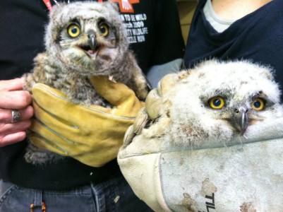 phx sux baby owl arizona wildlife